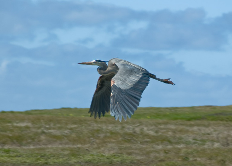 Great Blue Heron photographed in flight