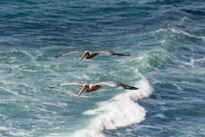 Pair of pelicans over the breakers