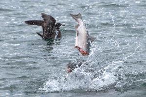 Sea Lion Feeding - Fish is shaken violently and broken into pieces